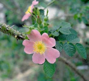 "Sweet Briar rose - known for its thorns is also a symbol of the College whose motto is ""She who has earned the rose may bear it"""