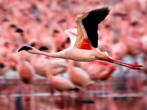 Flamingo in flight (image: National Geographic)