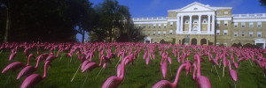 "Flamingos ""flock"" at the University of Wisconsin Madison, voted to be the official ""state bird""."
